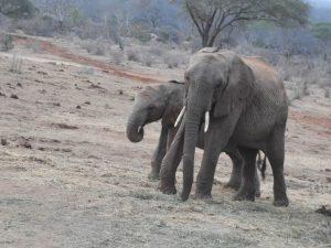 Mapia und Orwa (c) Sheldrick Wildlife Trust