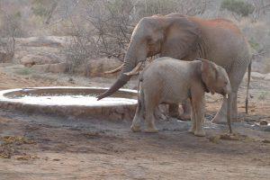 Mundusi mit einem wilden Bullen (c) Sheldrick Wildlife Trust
