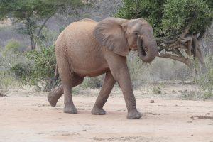 Narok (c) Sheldrick Wildlife Trust