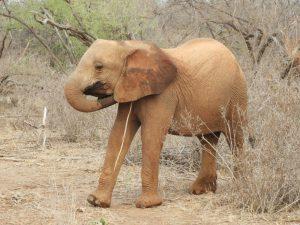 Naseku kratzt sich hinterm Ohr (c) Sheldrick Wildlife Trust