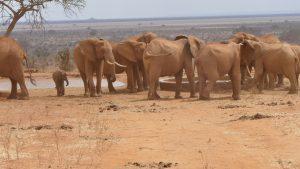 Wilde Elefanten an der Tränke (c) Sheldrick Wildlife Trust