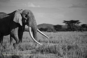 Tim streift nun bereits seit 50 Jahren durch die Wildnis Amboselis