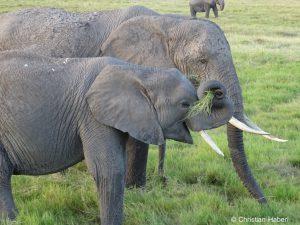 Elefanten genießen frisches Gras am Rand eines Sumpfes.