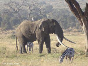 Tim in Gesellschaft eines Kuhreihers und zweier Zebras