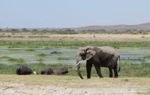Ein Elefant wandert an einigen Flusspferden vorbei.