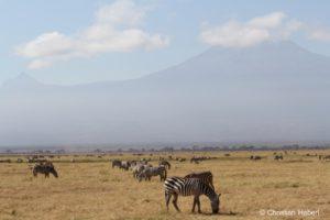 Zebras in Amboseli.