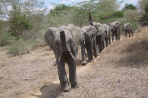 Die Waisen auf dem Weg zur Fütterung (c) Sheldrick Wildlife Trust
