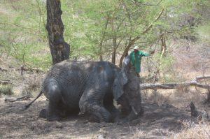 Jasiri (c) Sheldrick Wildlife Trust