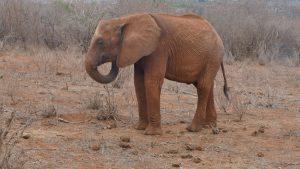 Kihari (c) Sheldrick Wildlife Trust