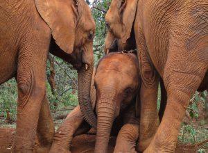 Larro, Maktao und Musiara (c) Sheldrick Wildlife Trust