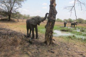 Lima Lima schnüffelt am Baum nach der Fährte eines wilden Elefanten (c) Sheldrick Wildlife Trust