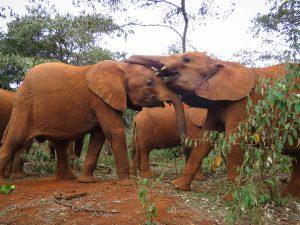 Maktao und Musiara (c) Sheldrick Wildlife Trust