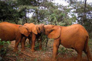 Mukkoka, Maktao und Musiara (c) Sheldrick Wildlife Trust
