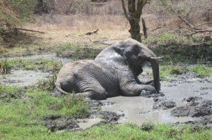 Murera beim Suhlen (c) Sheldrick Wildlife Trust