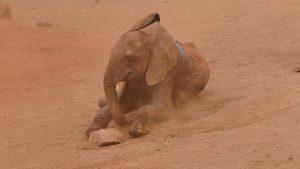 Murit beim Spielen (c) Sheldrick Wildlife Trust