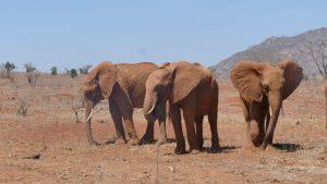 Panda, Naipoki und Mudanda (c) Sheldrick Wildlife Trust