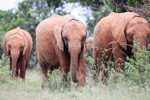 Sattao (c) Sheldrick Wildlife Trust