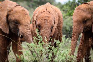 Sattao, Enkesha und Maisha (c) Sheldrick Wildlife Trust