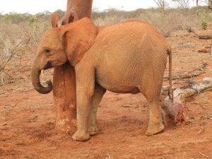 Ambo (c) Sheldrick Wildlife Trust