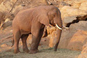 Buchuma (c) Sheldrick Wildlife Trust