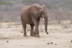 Chaimu (c) Sheldrick Wildlife Trust