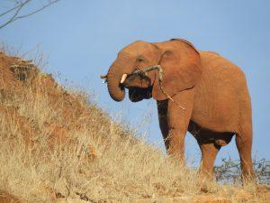 Galla (c) Sheldrick Wildlife Trust