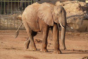 Kibo (c) Sheldrick Wildlife Trust