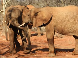 Kilaguni und Orwa (c) Sheldrick Wildlife Trust