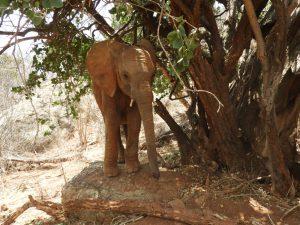 Kuishi beim Entspannen (c) Sheldrick Wildlife Trust