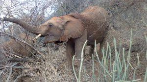 Mapia beim Fressen (c) Sheldrick Wildlife Trust