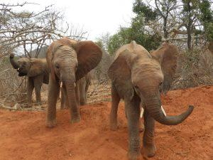 Mundusi und Pare (c) Sheldrick Wildlife Trust