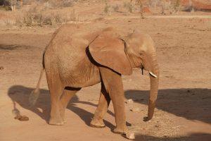 Mwende (c) Sheldrick Wildlife Trust