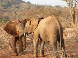 Ndiwa spielt mit Rapa (c) Sheldrick Wildlife Trust