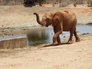 Roi (c) Sheldrick Wildlife Trust