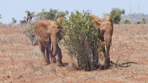 Suswa (links) und Nelion (c) Sheldrick Wildlife Trust