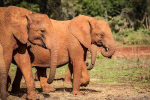 Tagwa und Tamiyoi (c) Sheldrick Wildlife Trust