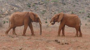Tundani (links) und Ngilai (c) Sheldrick Wildlife Trust