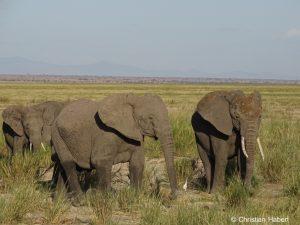 Elefanten in der austrocknenden Savanne