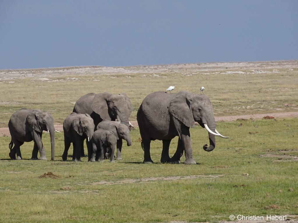 Elefantenkühe mit Kälbern - und Kuhreihern