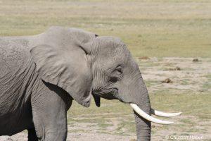 Eine Elefantenkuh aus Amboseli