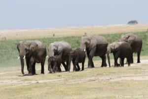 Wandernde Elefantenfamilie