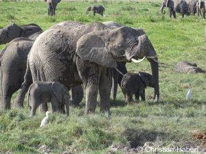 Elefantenfamilie mit kleinen Kälbern