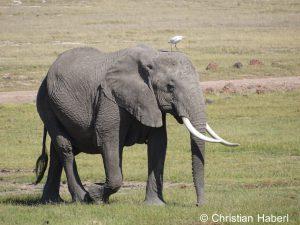 Elefantenkuh mit Kuhreiher