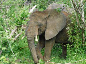 Alamaya versteckt sich im Gebüsch (c) Sheldrick Wildlife Trust