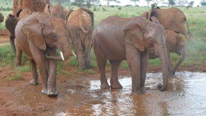 V.l.n.r.: Aruba, Embu und Emoli (c) Sheldrick Wildlife Trust