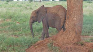 Emoli beim Schubbern (c) Sheldrick Wildlife Trust