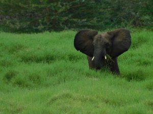 Faraja stopft sich voll Gras (c) Sheldrick Wildlife Trust