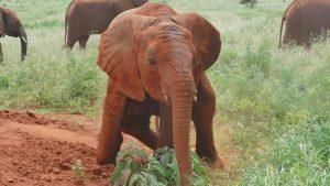 Godoma (c) Sheldrick Wildlife Trust
