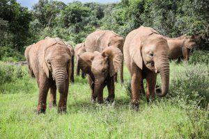 Kiasa, Roho und Maisha (c) Sheldrick Wildlife Trust