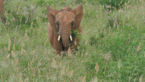 Lasayen (c) Sheldrick Wildlife Trust